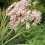 wigela florida variagata (Weigela florida (Weigela))