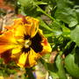 orange-black pansy can can (winter flowering pansy)