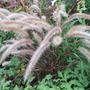 Pennisetum setaceum rubrum 'Dwarf' (Pennisetum rubrum 'Dwarf')