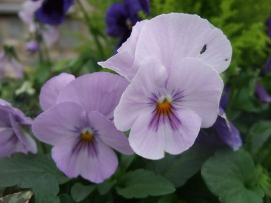 Pale lilac Pansies. (Viola tricolor)