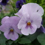 Pale_lilac_pansies
