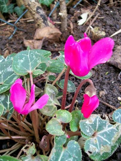 Cyclamen jan 08 (Cyclamen hederifolium)