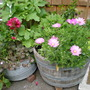 """Flowers in Tubs, the oseopermum is called """"Jucundum, a beauty"""