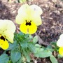 small yellow viola (Viola cornuta (Horned violet))