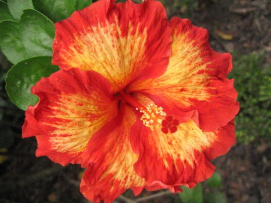 """Hibiscus """"Sun Shower"""" (Hibiscus rosa-sinensis (Chinese Hibiscus))"""