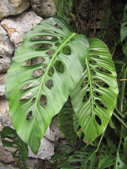 """holy"" leaves (Monstera friedrichsthalii (Windowleaf))"
