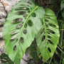 """holy"" leaves (Monstera friedrichsthalii (Windowleaf))"