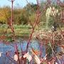 View of pond through Dog-Woods (Cornus alba 'Sibirica Variegata')