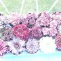 Sempervivum (Sempervivum)