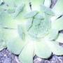 Sempervivum cv. Maxine (Sempervivum)