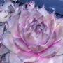 Sempervivum cv. Rita Jane (Sempervivum)