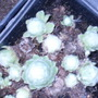 Sempervivum cv. Shampoo (Sempervivum cv. Shampoo)