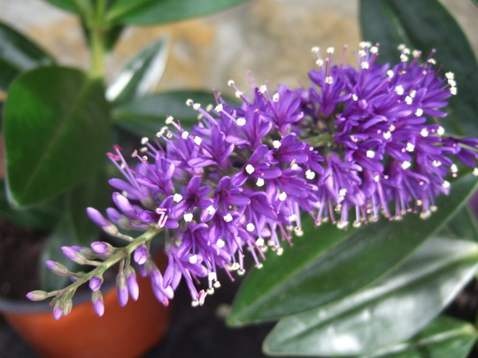 Purple Hebe flower. : Grows on You