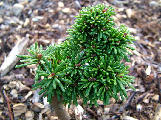 Abies concolor 'Igel' (Abies concolor (Colorado Fir))