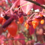 Euonymus alatus (Winged spindle)