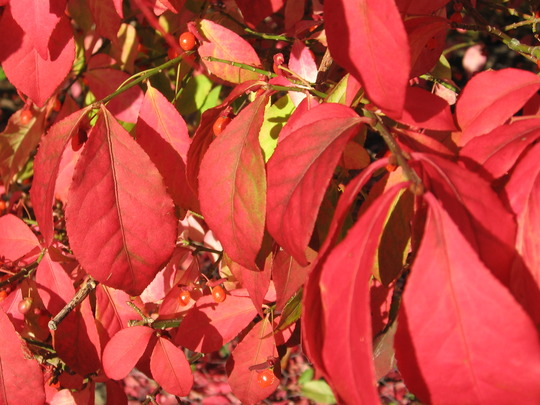 Burning Bush close up (Euonymus alatus (Winged spindle))