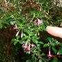 Tiny Fuchsia
