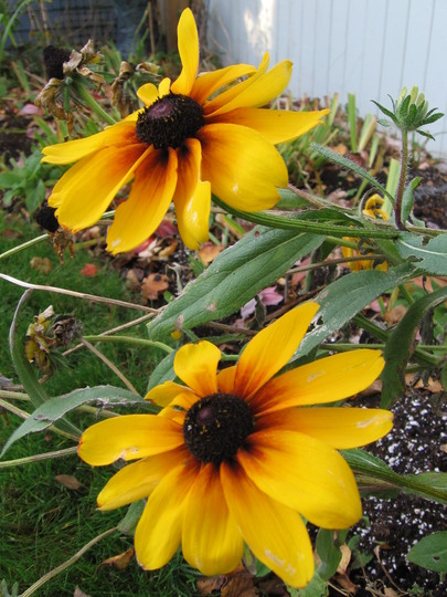 Blackeyed Susan (Rudbeckia fulgida (Black-eyed Susan))