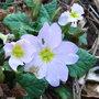Primula vulgaris sibthorpii (Primula vulgaris subsp sibthorpii)