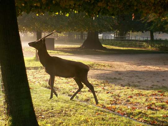 Deer in the car park at Wollaton