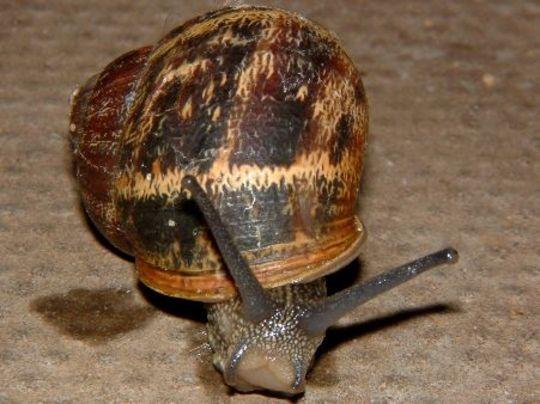 Garden Snail