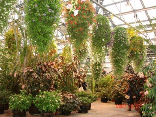 Hanging Petunias over Begonias