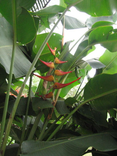 Close up Heliconia