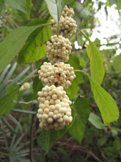 White Beauty Berry (Callicarpa americana)