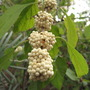 White Beauty Berry (Callicarpa americana)