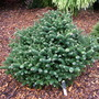 Abies koreana 'Alpin Star' (common name;  Korean Fir)