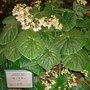Begonia Poplar