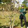 The magnolia tree (Magnolia denudata (Lily Tree))