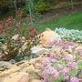 Crepe Myrtle in rock garden