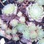 Sempervuivum cv. Zilver Chrissy