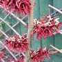 Witch Hazel (Hamamelis x intermedia)