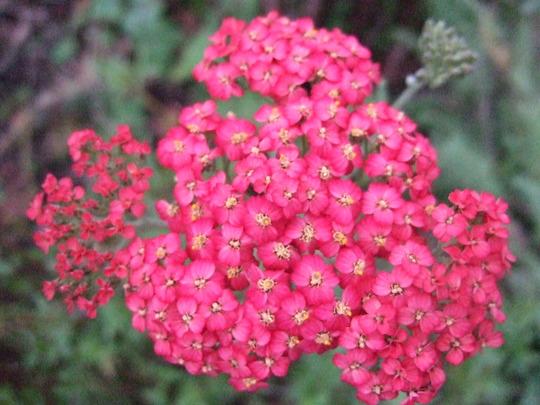 Red Achillea (Achillea)