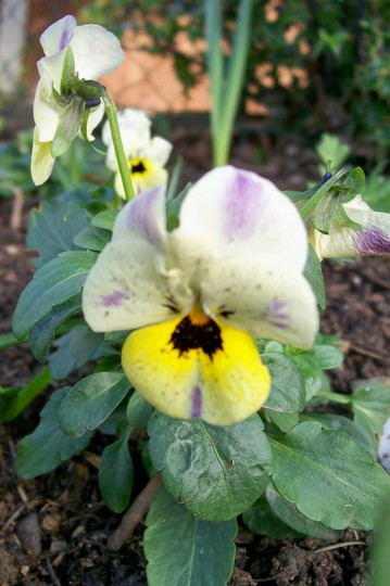 Viola (Viola cornuta (Horned violet))