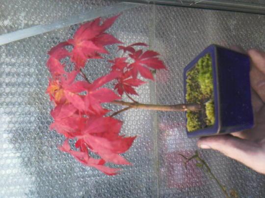 acer p. senkaki (Acer palmatum (Japanese maple))