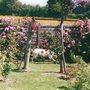 Cornelia Roses being inspected by Alys (Hybrid Musk)