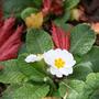 Autumn and Spring (primula)
