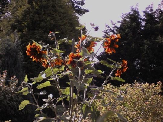 sunflower that acheived 28 heads