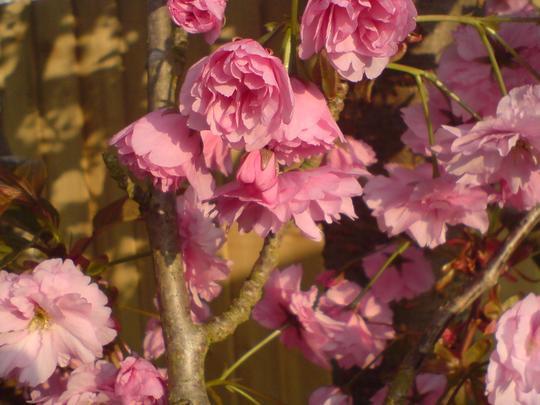 cherry tree (Kansen)