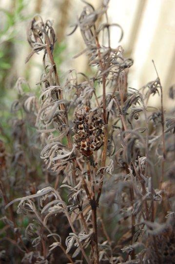 Lavender skeleton (Lavandula stoechas)
