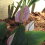 Pink Stripe Anthurium