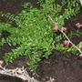Lonicera nitida (Shrubby honeysuckle)