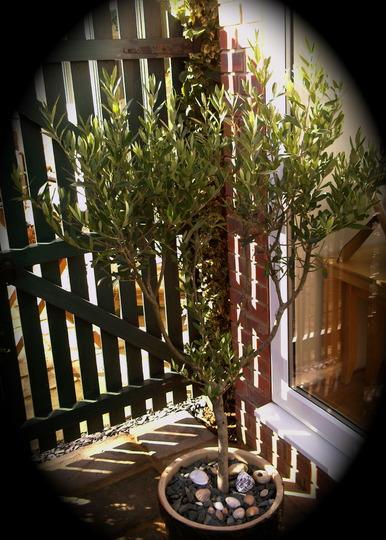 Olive Tree. (Olea europaea)