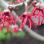Hamamelis_flowers