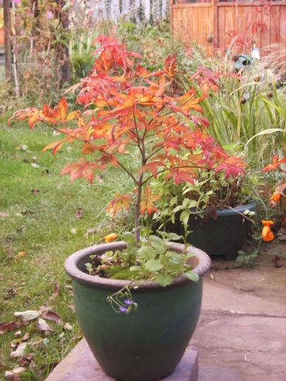 My little potted Acer, providing a bit of autumn colour for me  :-) (Acer palmatum (Japanese maple))