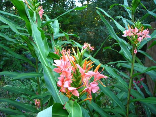 Last ginger to bloom this season (Hedychium coronarium 'Elizabeth')