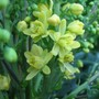 Mahonia (Mahonia japonica)